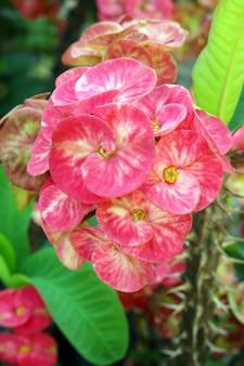 Euphorbia milii hermosas flores en el jardín.
