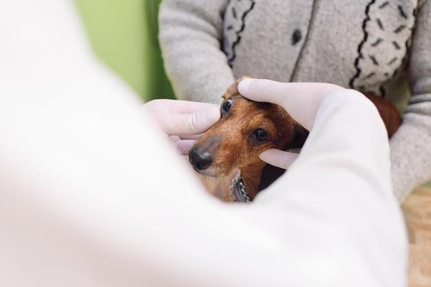 Examen médico de perros dachshunds en una clínica veterinaria