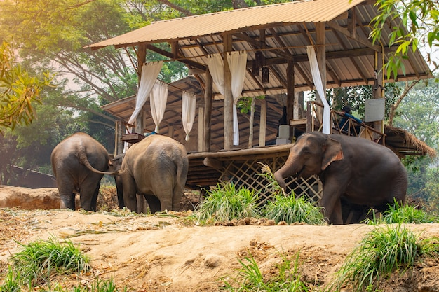 Excursión de elefantes a través de la jungla y estadía en casa en el campamento de elefantes de maetaman, en el norte de tailandia.