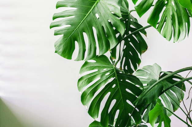 Exóticas hojas de palma monstera tropical en casa.