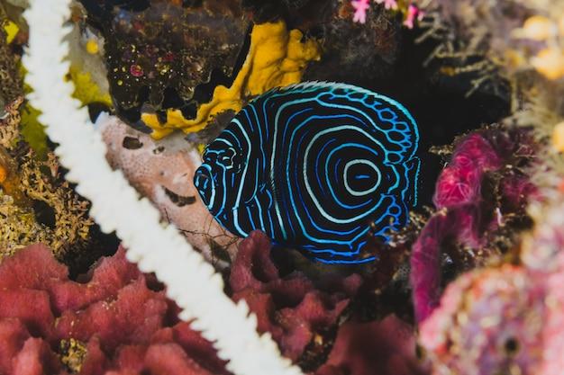 Exótico pez azul en la vida silvestre