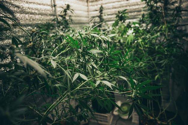 Experimentos para la producción de marihuana para uso médico, cultivo de cáñamo