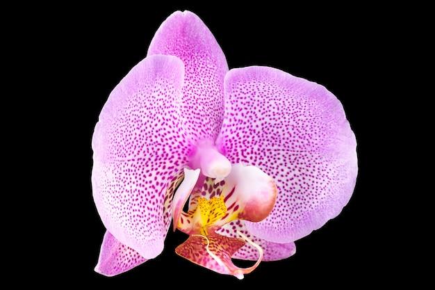Extremo cerca de rosa phalaenopsis o orquídea polilla de la familia orchidaceae aislado sobre fondo negro con trazado de recorte