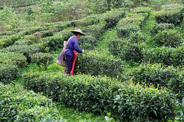 Famer guarda el té en la plantación de té mae hong son