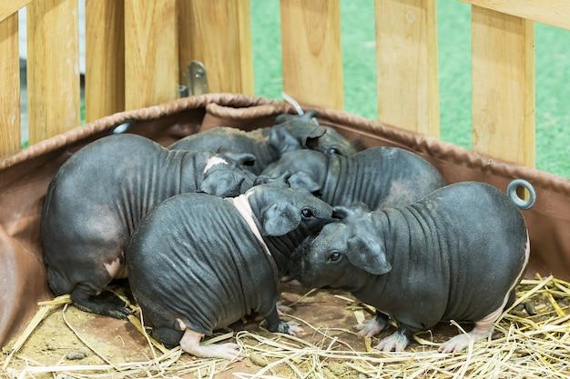 Familia de conejillo de indias flaco o sin pelo