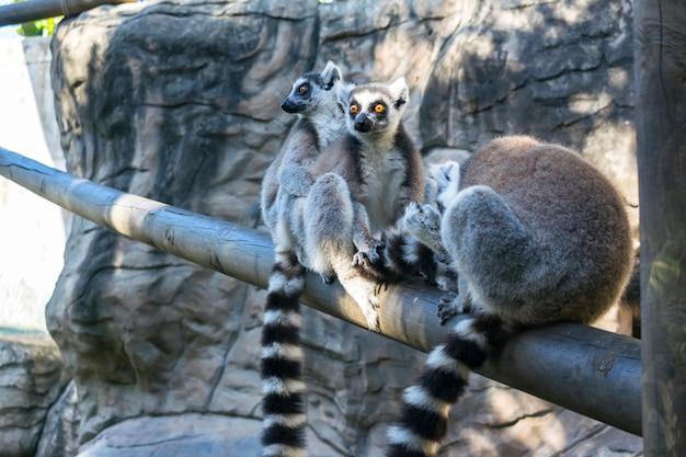 Familia de lemures salvajes de cola anillada