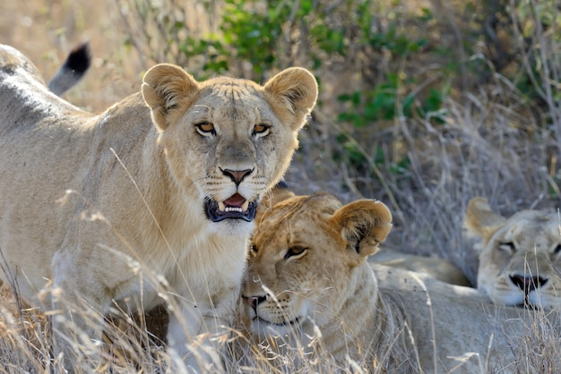 Familia de leones en la sabana.