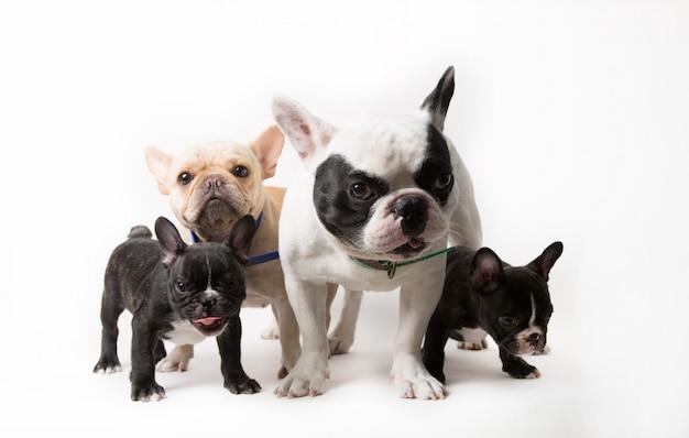 Familia linda y divertida de bulldog francés
