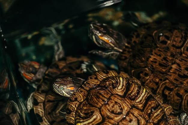 Una familia de tortugas nada en un acuario. trachemys scripta