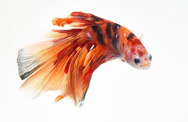 Fancy nemo betta o pez luchador siamés.