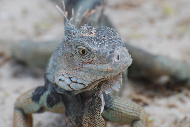 Fantástico rostro de una iguana con espinas en la espalda posando.
