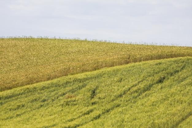 Fascinante campo de trigo hermoso entre la vegetación bajo un cielo nublado