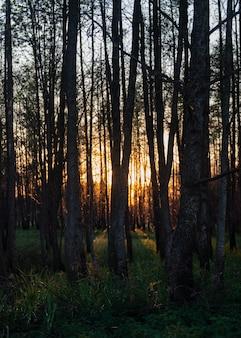 Fascinante vista de los árboles altos y la hierba en el bosque durante la puesta de sol