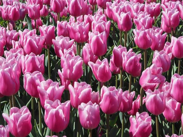 Fascinantes plantas con flores de tulipa sprengeri en el medio del campo