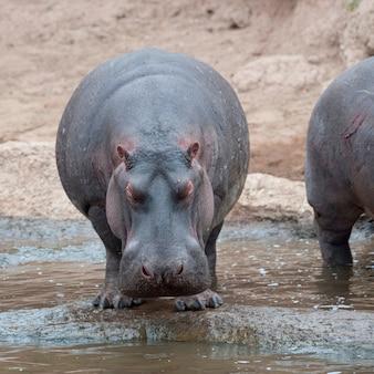 Fauna de hipopótamos en kenia