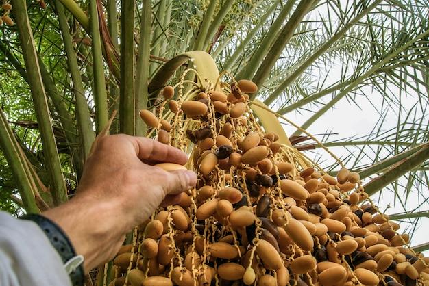 Las fechas maduran en la palma del oasis. las fechas maduran en una palmera. fechas de cosecha.