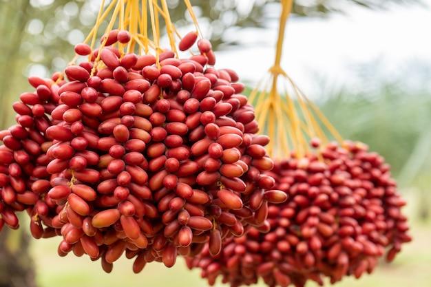 Fechas ramas de palma con dátiles maduros