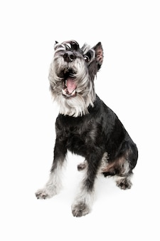 Felicidad. lindo perrito dulce de perro schnauzer miniatura o mascota posando aislado en la pared blanca. concepto de movimiento, amor de mascotas, vida animal. parece feliz, gracioso. copyspace para anuncio. jugando, corriendo.