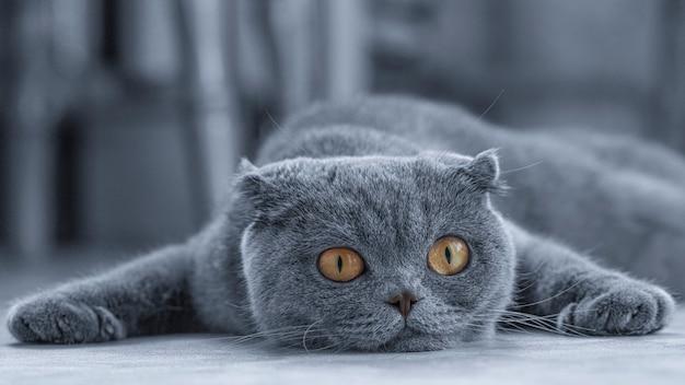 Felis catus sfs se acuesta en el sofá y falla.