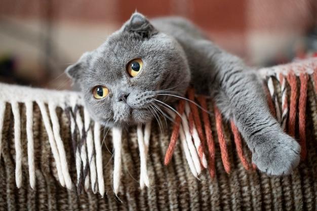 Felis catus sfs scottish fold cat, retrato, tumbado en el sofá y desaparecido. primer plano, enfoque suave