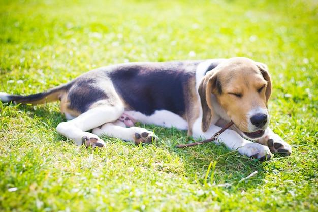 Feliz cachorro beagle mordiendo un palo de madera