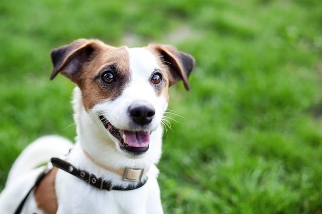Feliz joven activo jack russell terrier. primer plano de cara y ojos de perro de color blanco-marrón en un parque al aire libre, haciendo una cara seria bajo la luz del sol de la mañana cuando hace buen tiempo. retrato de jack russell terrier
