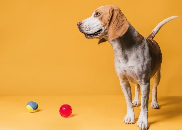 Feliz lindo perro y pelotas de goma