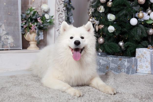 Feliz navidad y felices fiestas. año nuevo 2020. perro samoyedo se encuentra en la sala de estar en el interior de navidad.