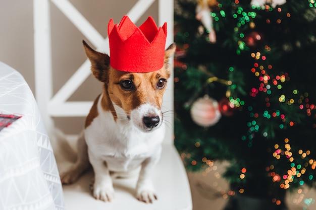 El festivo perro jack russell en corona de papel rojo se sienta cerca del árbol de navidad, posa