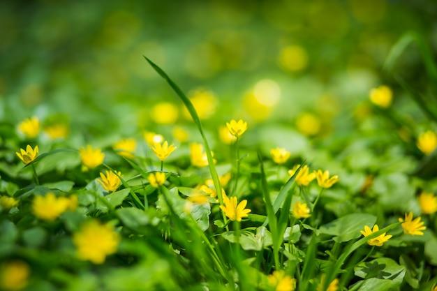 Ficaria verna, ranunculus ficaria l., celidonia menor, pilewort, ranúnculo de higo pequeñas flores amarillas del prado.
