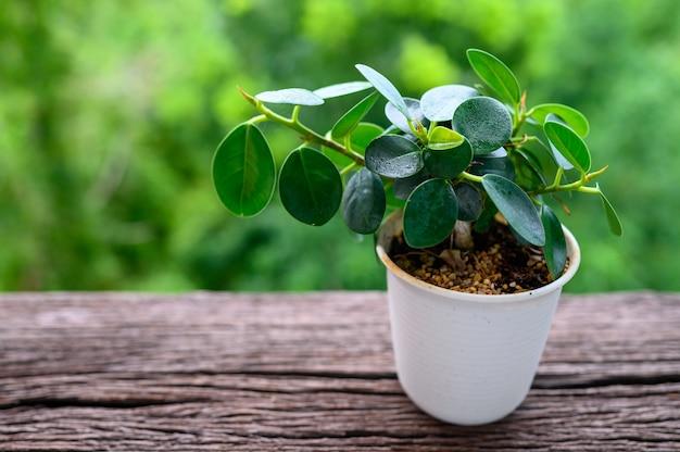 Ficus annulata en maceta en mesa de madera con desenfoque