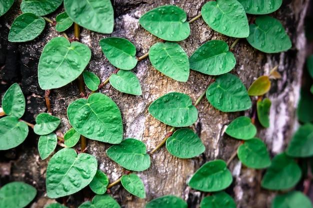 Ficus pumila que crece en la superficie de los árboles paredes verdes naturales las hojas parecen una forma de corazón