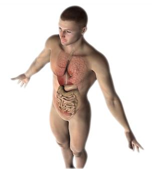 Figura masculina 3d con órganos internos.