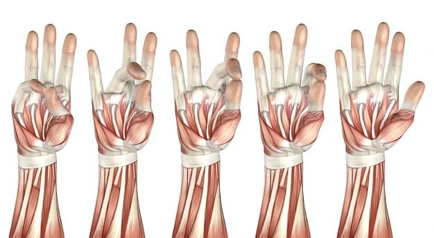 Figura médica 3d mostrando el pulgar tocando cada dedo.