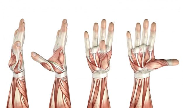 Figura médica 3d que muestra abducción, aducción, extensión y flexión del pulgar.
