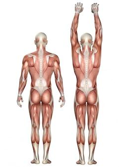 Figura médica 3d que muestra escápula hacia arriba y hacia abajo.