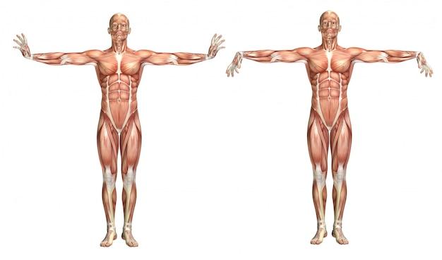Figura médica 3d que muestra la extensión y flexión de la muñeca.