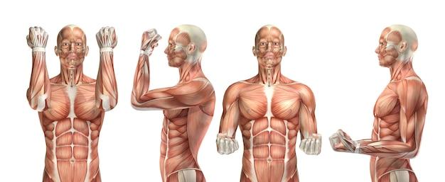 Figura médica 3d que muestra flexión y extensión del codo.