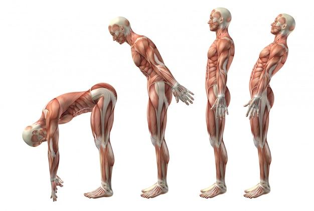 Figura médica 3d que muestra la flexión, extensión e herextensión del tronco.