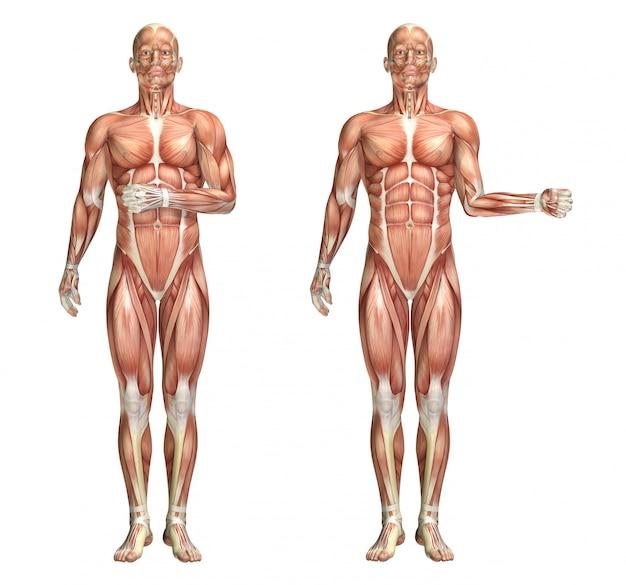 Figura médica 3d que muestra la rotación interna y externa del hombro.