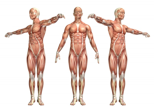 Figura médica 3d que muestra la rotación del tronco.