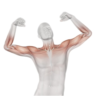Figura médica masculina 3d con mapa muscular parcial.