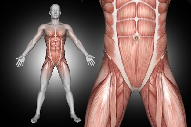 Figura médica masculina 3d con músculos abdominales resaltados