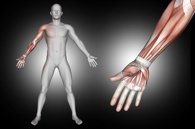 Figura médica masculina 3d con músculos del brazo resaltados