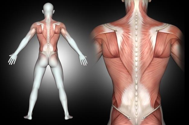 Figura médica masculina 3d con músculos de la espalda resaltados
