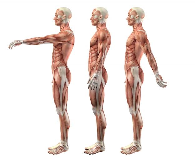 Figura médica masculina 3d que muestra flexión, extensión e hiperextensión del hombro.