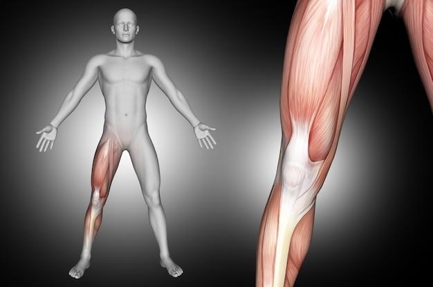 Figura médica masculina con músculos de la rodilla resaltados
