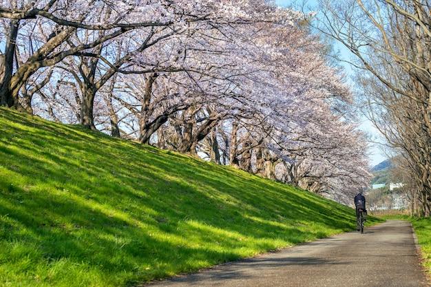Fila de árboles de cerezos en flor en primavera, kyoto en japón.