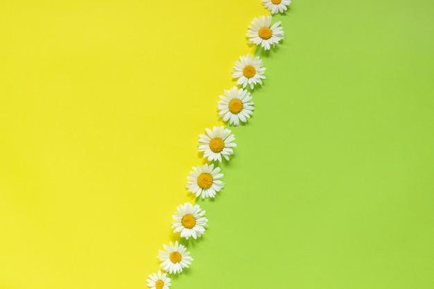 Fila chamomiles margaritas flores sobre fondo amarillo y verde plantilla para texto o su diseño
