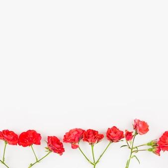 Fila de rosas rojas fondo blanco